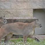 Adria - Pumas im Zoo; Bild: Nehro Karim-Vodicka