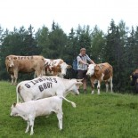 Kühe mit Bio-Tattoos