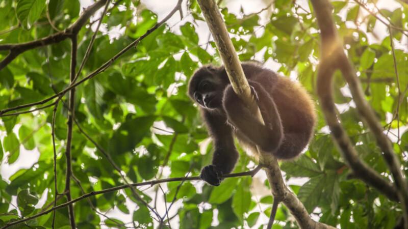 Mono-Congo-Corcovado-Puntar.Bild© Costa Rica Tourism Board
