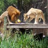 Spielende Löwen Naples Zoo Credit: Naples Zoo