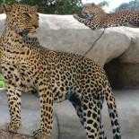 Leopard auf einem Fels Credit: Naples Zoo