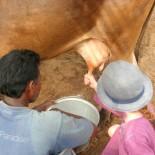 Dune Resort Indien - Lili beim melken