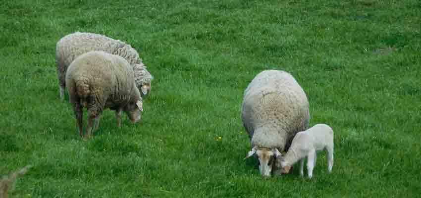 Schafe auf der Weide bei der Radltour durch Bayern
