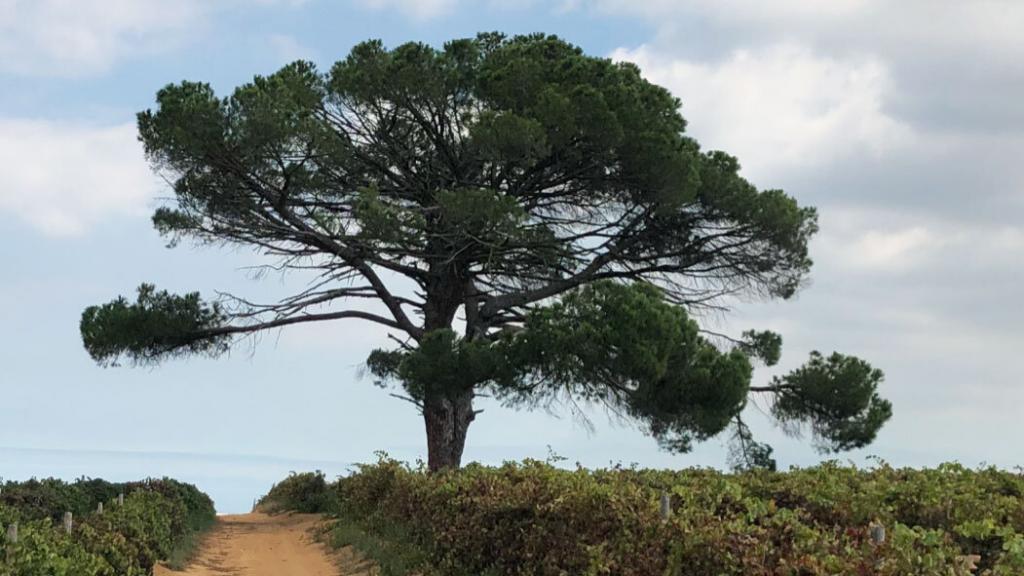 Stellenbosch Baum