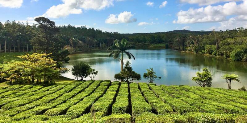 Teeplantage-Mauritius