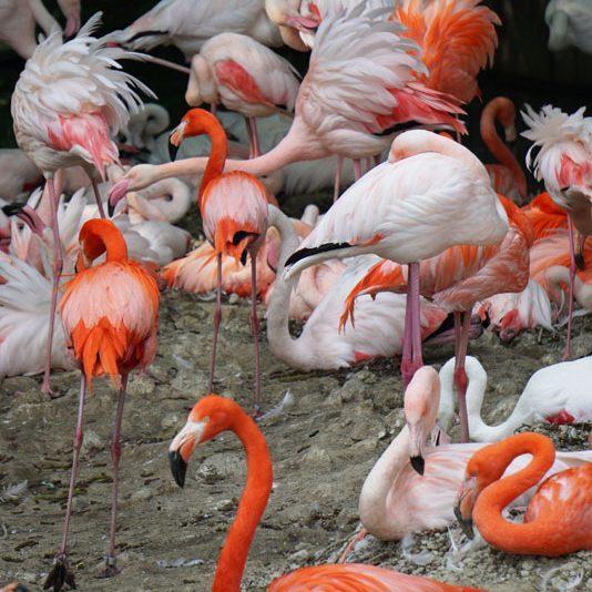 Tierpark Hellabrunn Flamingos