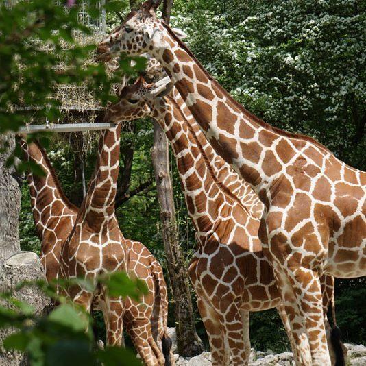 Tierpark Hellabrunn Giraffen