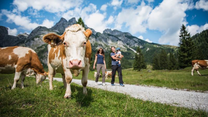 Kühe Werfenweng Foto: © TVB_Werfenw.-Christian-Schattner