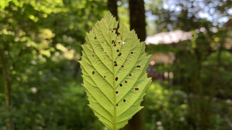 Waldbaden, Blatt mit Löchern © Foto : Andrea Fischer